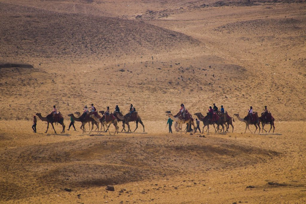 Camel rides for the tourists -Giza Pyramids