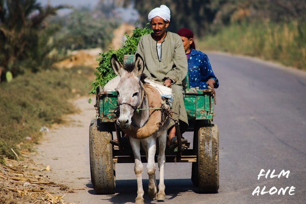 Donkeys used as a beast of burden, Nile Valley, Egypt