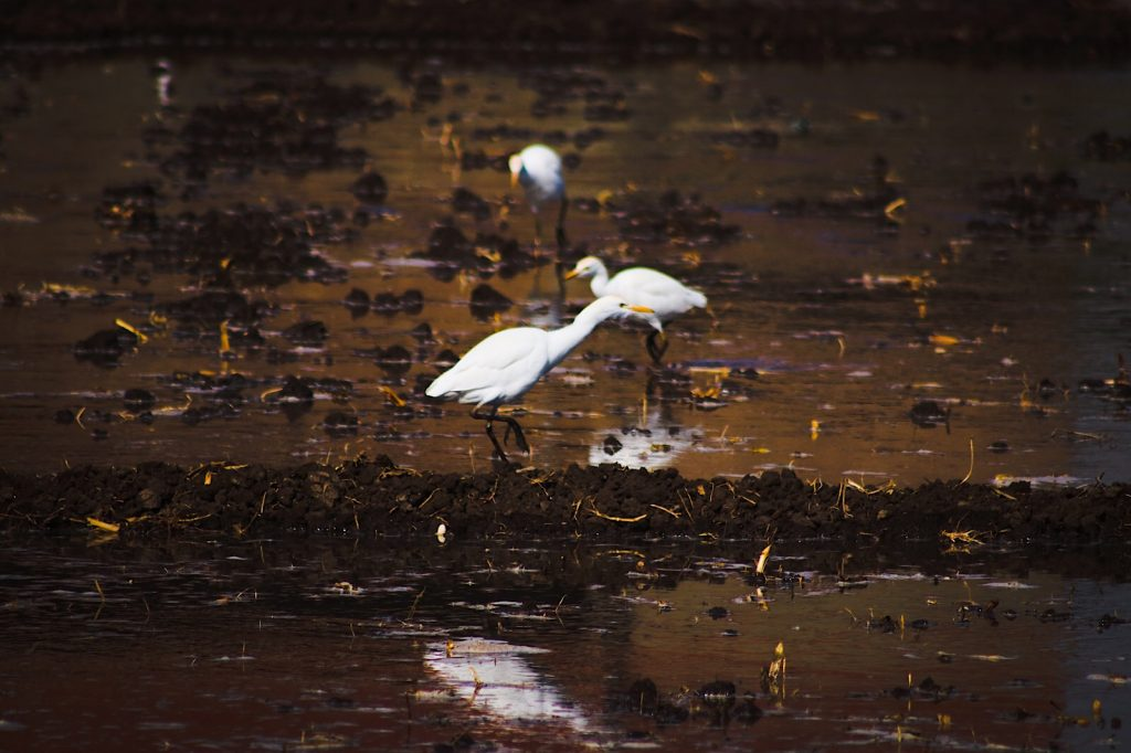 Egrets remind me of the Bangles song 'walk like an Egyptian'