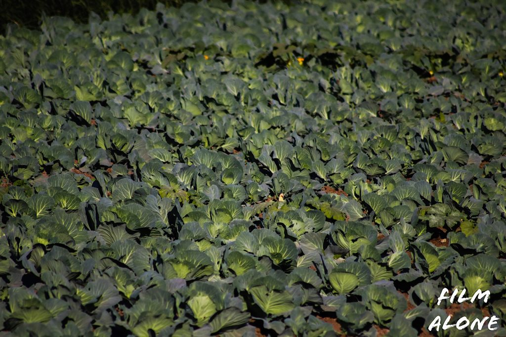 Cabbage plot, Egypt